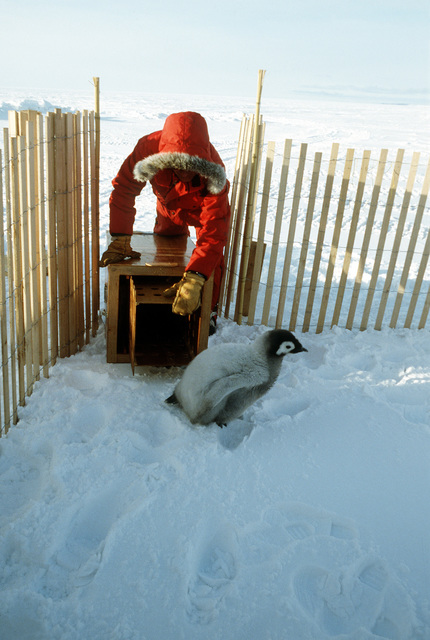 A naturalist prepares to load an emperor penguin chicks into an insulated crate at a rookery near McMurdo Station. Four chicks will be flown to San Diego, where they will be part of a National Science Foundation study