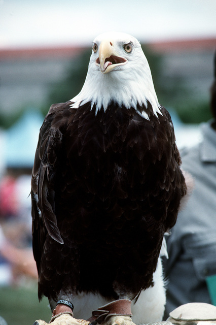 A bald eagle, symbol of American independence, sits on a perch as it functions as mascot for the National Victory Celebration which is being held in honor of the Allied forces' liberation of Kuwait during Operation Desert Storm