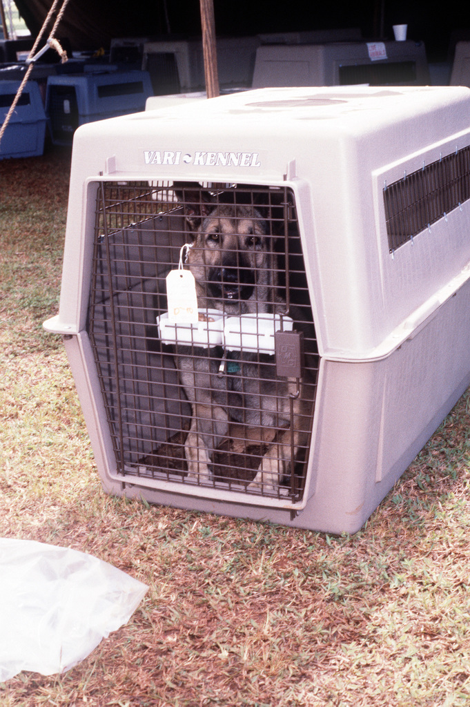A German shepherd waits in a kennel at the pet holding area during evacuation processing. The dog is one of hundreds of pets arriving with thousands of military and civilian personnel from the Philippine Islands. The evacuation, part of Operation Fiery Vigil, is the result of the June 10 eruption of Mount Pinatubo which deposited more than four inches of volcanic ash on the islands, disrupting base operations