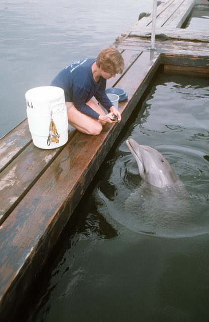 SENIOR CHIEF Torpedoman Valerie Langstaff, Explosive Ordnance Disposal (EOD) Group Three, uses food as a reward as she works with Loma, an Atlantic Bottlenose dolphin being trained for EOD assignments