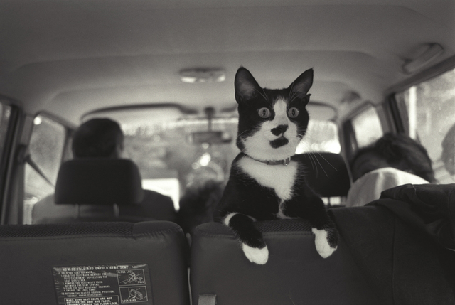 Photograph of Socks the Cat Perched on the Backseat of a Van