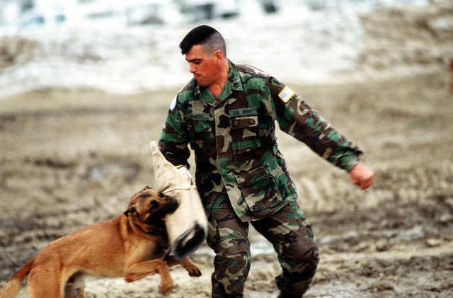 STAFF SGT. Terry Smith, a dog handler from the 26th Area Support Group (ASG), Kaiserslautern, GE, during an exercise with Arras, a Belgium Maloumaud.(Exact date unknown)