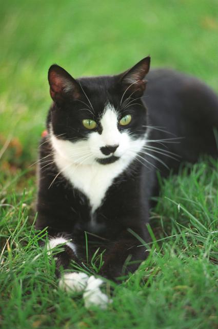Photograph of Socks the Cat