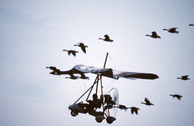 "In a scene from a Columbia Pictures Film, dubbed ""Father Goose"" an ultra-light plane, designed to look like a giant goose flies with a skien (flock) of geese. From AIRMAN Magazine December 1995 article ""Goosed"""