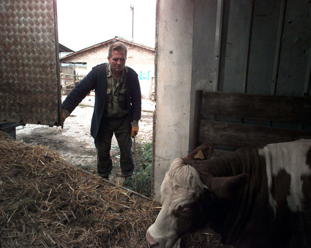 Borisic Arif, a workman at the Sarajevo Cattle Yard, assists in loading cattle which will be distributed to farmers in Bosnia and Herzogovina, in support of Operation JOINT ENDEAVOR