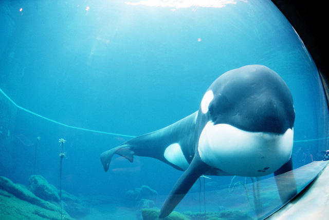 """Straight on medium shot of Keiko the killer whale and star of the film """"Free Willy"""" as he swims around in his tank prior to being moved from Newport, Oregon to Westman Islands, Iceland"""