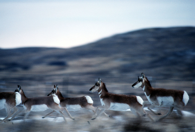 """Pronghorn antelope are common at the Utah Test and Training Range in Oasis, Utah. They often stroll through the Oasis compound, especially when looking for water. This image was used in the April 2000 AIRMAN Magazine article """"Home, Home on the Range"""""""