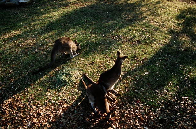 Straight on, medium shot from a high angle, down on three Kangaroos from an Australian wildlife park as they forage for food on September 27th, 2000. The Boxing Kangaroo, as depicted on a green and gold flag (Not shown), is the national sports symbol to many Australians