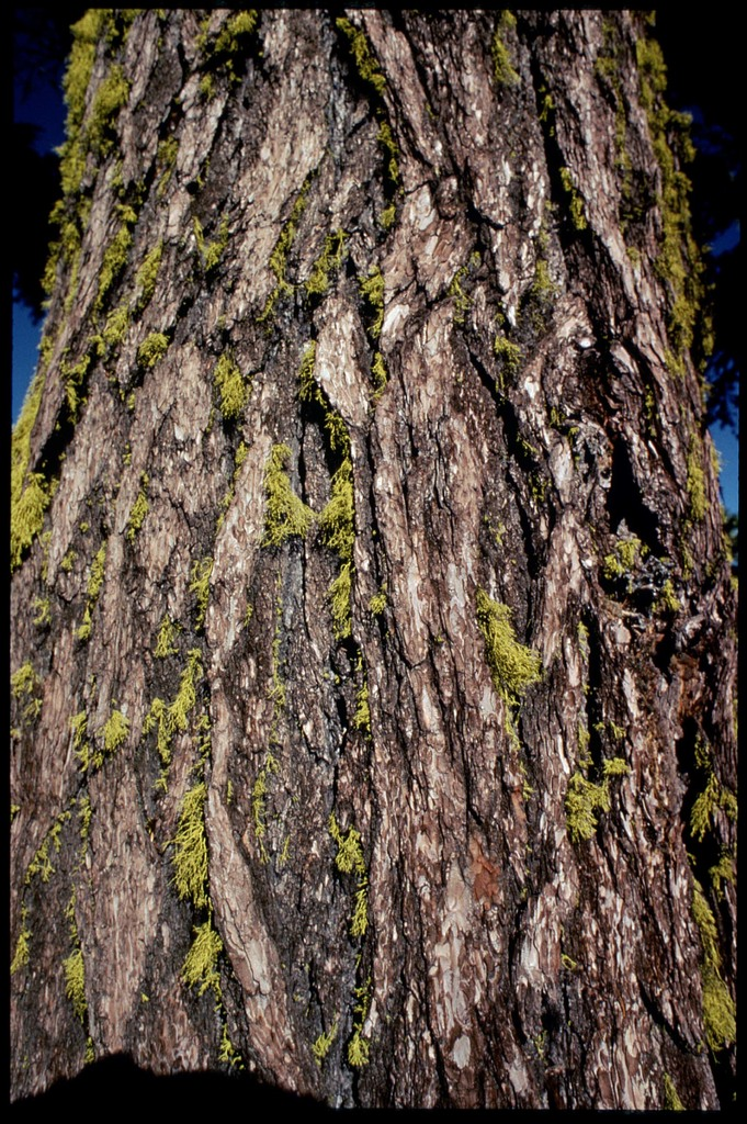 Library of Environmental Images, Office of Research and Development (ORD), September 1996 - Scenic/General - Redwood tree bark with lichen (CA)