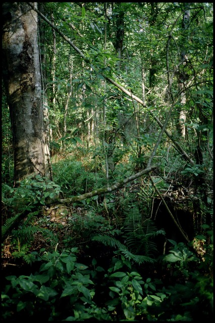 Library of Environmental Images, Office of Research and Development (ORD), September 1996 - Scenic/General - Trees and ferns in woods