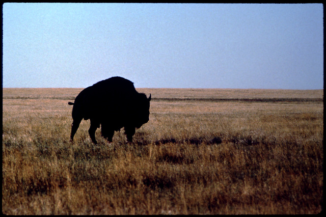 Library of Environmental Images, Office of Research and Development (ORD), September 1996 - Scenic/General - Buffalo on prairie (SD)