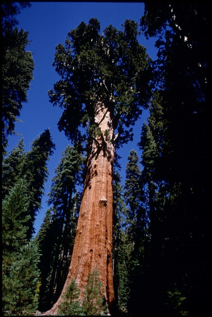 Library of Environmental Images, Office of Research and Development (ORD), September 1996 - Scenic/General - Towering sequoias (Sequoia National Park, CA)