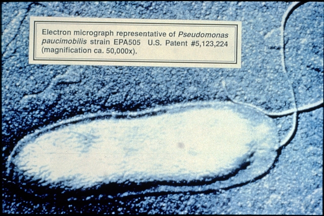 Library of Environmental Images, Office of Research and Development (ORD), September 1996 - Environmental Technology - Magnification of contaminant-degrading bacteria (Pseudomonas paucimobilis)