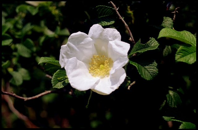 Library of Environmental Images, Office of Research and Development (ORD), September 1996 - Scenic/General - Rugosa rose (RI)