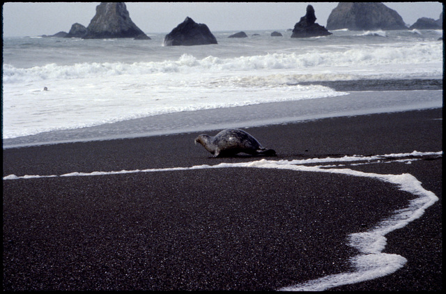 Library of Environmental Images, Office of Research and Development (ORD), September 1996 - Scenic/General - Harbor seal on shore (CA)