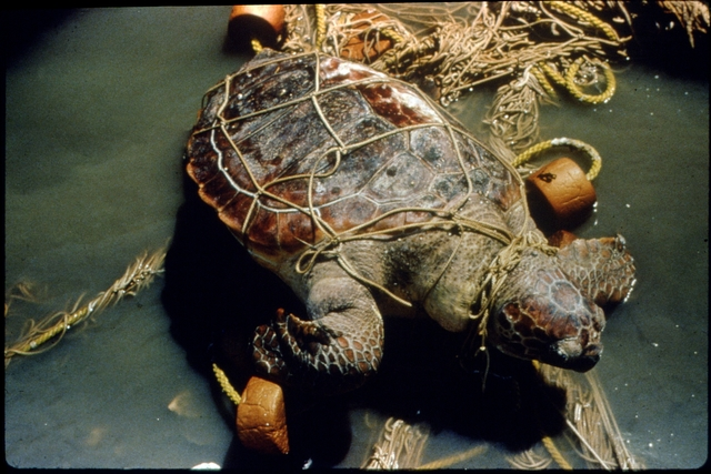 Library of Environmental Images, Office of Research and Development (ORD), September 1996 - Pollution Prevention - Turtle entangled in marine debris