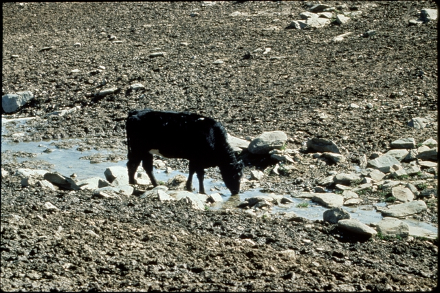 Library of Environmental Images, Office of Research and Development (ORD), September 1996 - Water - Cow drinking in dried-up river bed