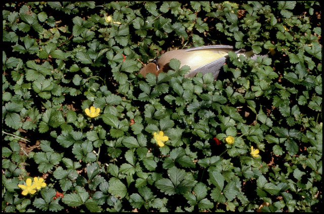 Library of Environmental Images, Office of Research and Development (ORD), September 1996 - Pesticides and Toxics - Dead bird in foliage