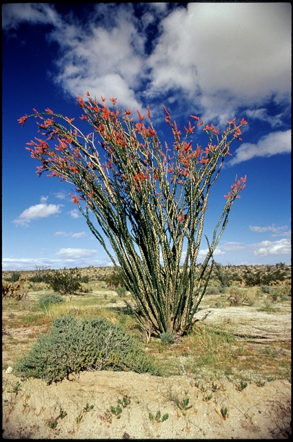Library of Environmental Images, Office of Research and Development (ORD), September 1996 - Scenic/General - Ocotillo plant (Anza Borego State Park, CA)