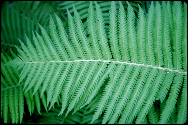Library of Environmental Images, Office of Research and Development (ORD), September 1996 - Scenic/General - Ferns