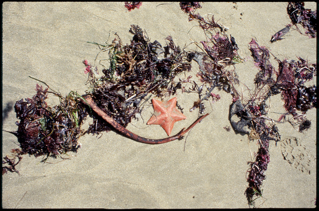 Library of Environmental Images, Office of Research and Development (ORD), September 1996 - Scenic/General - Starfish