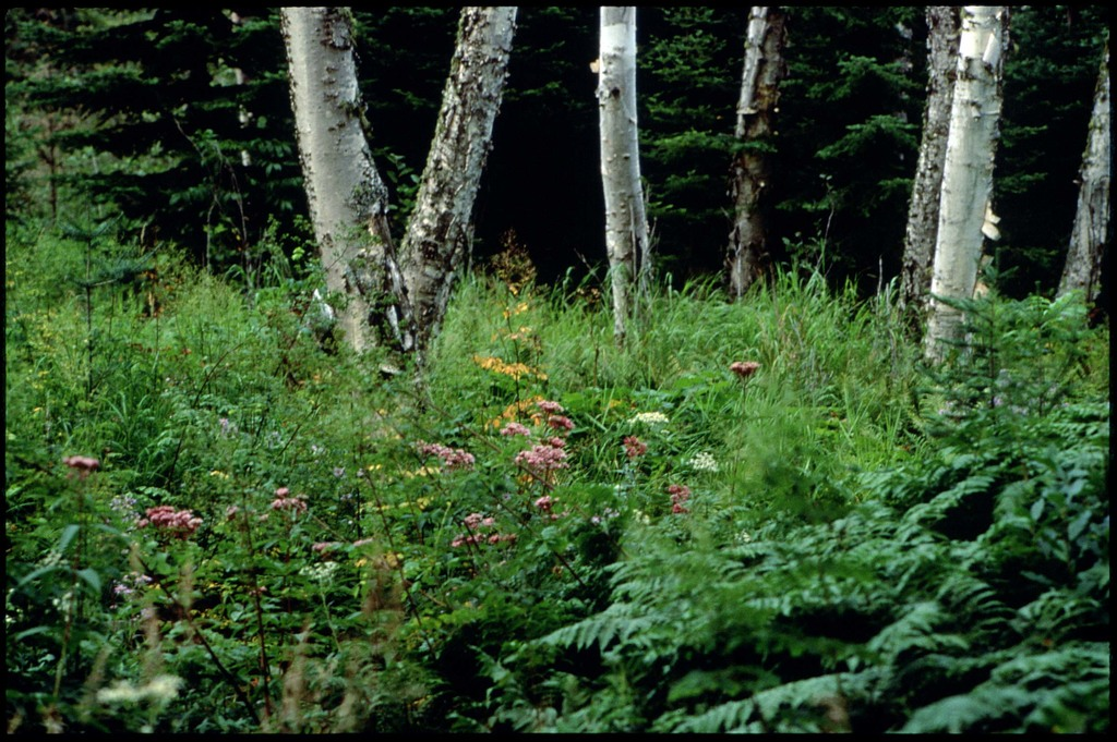 Library of Environmental Images, Office of Research and Development (ORD), September 1996 - Scenic/General - Wild flowers and birch trees (Isle Royale, MI)