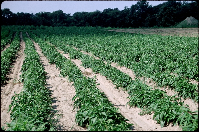 Library of Environmental Images, Office of Research and Development (ORD), September 1996 - Scenic/General - Rows of crops