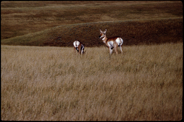 Library of Environmental Images, Office of Research and Development (ORD), September 1996 - Scenic/General - Pronghorn on plains (SD)