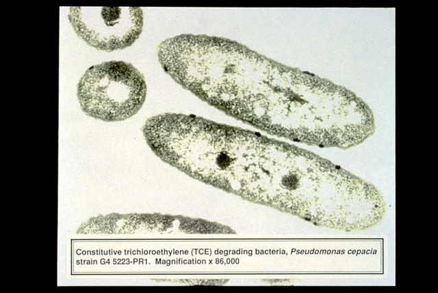 Library of Environmental Images, Office of Research and Development (ORD), September 1996 - Environmental Technology - Magnification of contaminant-degrading TCE bacteria (Pseudomonas cepacia)