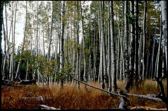 Library of Environmental Images, Office of Research and Development (ORD), September 1996 - Scenic/General - Aspen trees (Harden Lake, CA)
