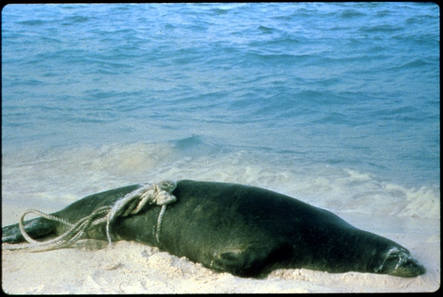 Library of Environmental Images, Office of Research and Development (ORD), September 1996 - Pollution Prevention - Sea lion entangled in marine debris