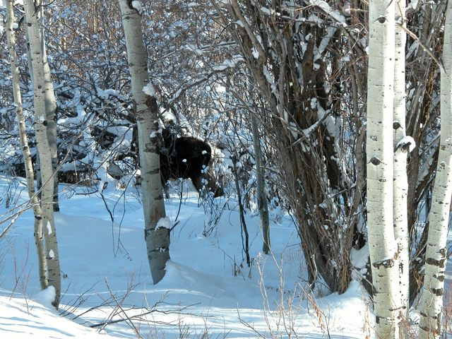 Web Environmental Photos: Scenes from around the United States - Moose Encounters