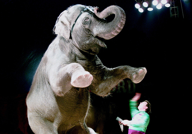 A trained Elephant obeys his trainer's command at the Hanneford Circus, which recently entertained the troops at Fort Gordon, Georgia. (U.S. Army PHOTO by Marlene Thompson, CIV) (Released)
