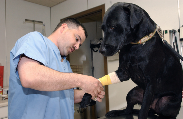 US Air Force (USAF) STAFF Sergeant (SSGT) Chris Rose, the Non-Commissioned Officer In Charge (NCOIC) at the Eielson Air Force Base (AFB), Alaska (AK), Veterinarian Services, unwraps a bandage on a front leg of Sadie, a Black Labrador mix