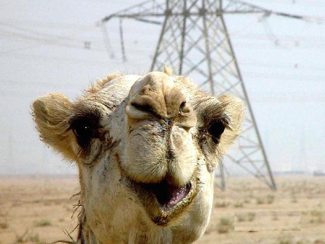 Mug shot of a congenial and photogenic camel near Fallujah, Iraq, during Operation IRAQI FREEDOM