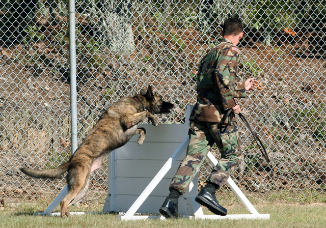 US Army (USA) Sergeant (SGT) Michael Bombarger (right), Military Working Dog (MWD) trainer, Military Police (MP) Unit, US Army Signal Corps and Fort Gordon (USASC & FG), directs Bino, a USA MWD, to jump over a hurdle on the obstacle course during an exhibition run conducted as part of the Grand Opening Ceremony for the new MWD Kennel at Fort Gordon, Georgia (GA)
