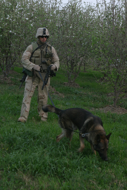 On March 2, 2006, SENIOR AIRMAN Jose L. Cadena, a military dog handler with 2nd Military Police Battalion, attached to 3rd Platoon, 2nd Battalion, 6th Marines (2/6), Regimental Combat Team 5, and his dog, Charlie, patrol farmlands of Fallujah, Iraq during Operation Jaws V. I MEF FWD and MNF-W conduct counter-insurgency operations with Iraqi Security Forces to isolate and neutralize Anti-Iraqi Forces, to support the continued development of Iraqi Security Forces, and to support Iraqi reconstruction and Democratic elections in order to create a secure government that enables Iraqi self-reliance and self-governance. (U.S. Marine Corps photo by CPL. Adaecus G. Brooks) (Released)