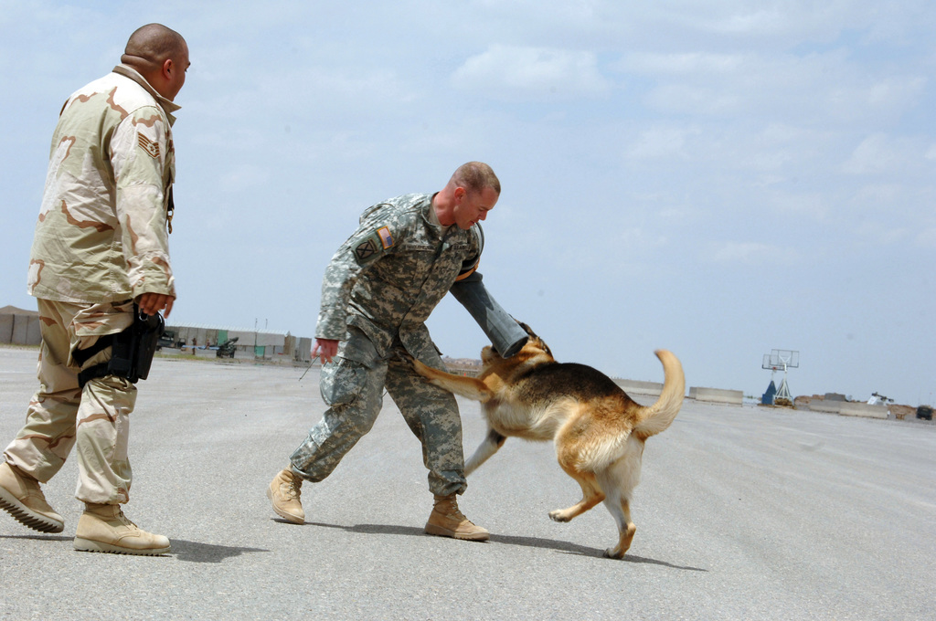 STAFF SGT. Paul Vanoudeheusden gets bite by military working dog Kibo during a demonstration in Forward Operating Base Remagen, Tikrit on April 27, 2006.  Vanoudeheusden is an infantryman attached to 3-320th Field Artillery Regiment, 101st Division.    The 101st Airborne Division is currently deployed in the Tikrit area and Northern Iraq on support of Operation Iraqi Freedom.(U.S. Army photo by SPC. Teddy Wade) (Released)