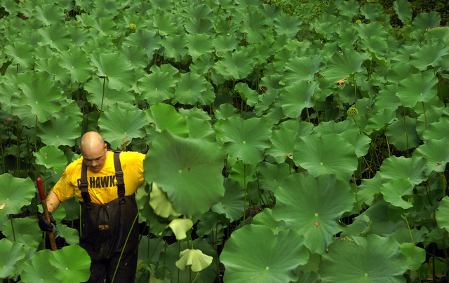 U.S. Navy PETTY Officer 1ST Class Tim Darnell wades through lilly pads in the man-made artificial wetland at the Tipton County Veteran's Memorial Park and Nature Trail in Covington, Tenn., on Aug. 18, 2006. He was recently selected for promotion to USN CHIEF PETTY Officer. The USN CHIEF PETTY Officer's Association has been volunteering here annually to maintain the park for past seven years. (U.S. Navy photo by CHIEF Mass Communication SPECIALIST Chris Desmond) (Released)