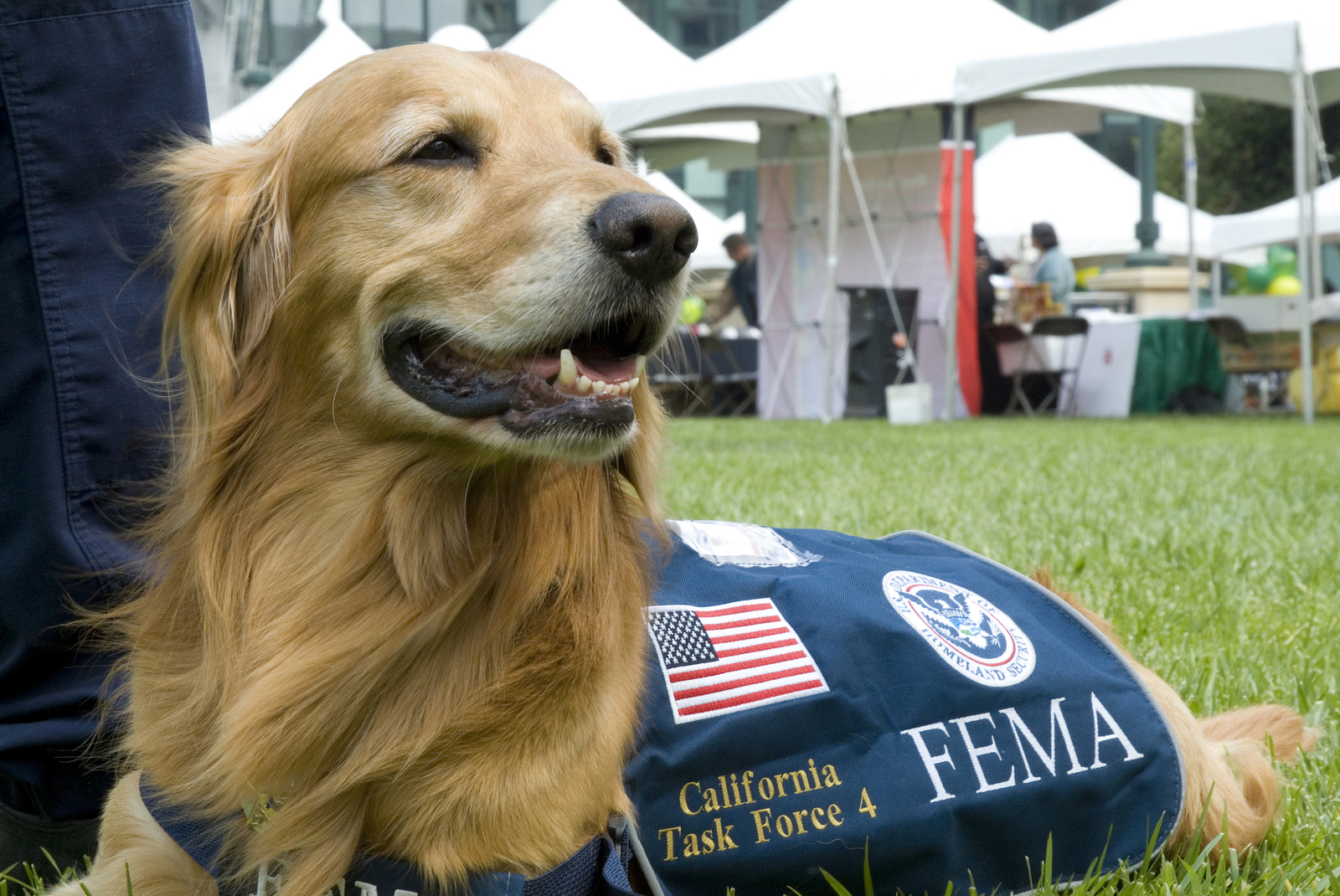 """Oakland, CA, June 25 2008 -- Four year old golden retriever and current member of the California Urban Search and Rescue Team 4 (USAR) """"Sandy"""" is present at the FEMA Safety Preparedness Expo tent. The expo had themes of safety and preparedness highlighted with search and rescue capabilities, recovery tools, and mitigation procedures to assist in preparing for and responding to disasters. Adam DuBrowa/ FEMA."""
