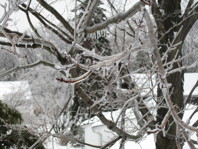 Winter Storm - Parsippany, N. J. , February 2, 2011 -- Ice forms around tree branches under sub-zero conditions. Most of Northern New Jersey was under an Ice Storm Warning