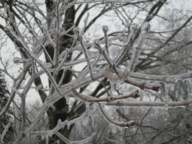 Winter Storm - Parsippany, N. J. , February 2, 2011 -- Ice forms around tree branches under freezing conditions. Most of Northern New Jersey was under an Ice Storm Warning.