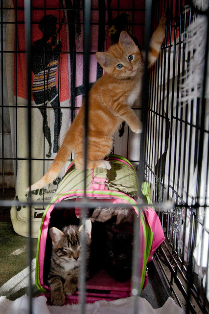 Flooding - Minot, N. D. , June 24, 2011 -- Kittens play in their cage at the Souris Valley Animal Shelter. Over 460 pets of evacuees are sheltered due to the flood.  FEMA is working closely with federal, state, local and tribal partners in the ongoing flood fight.  Photo by Andrea Booher/FEMA