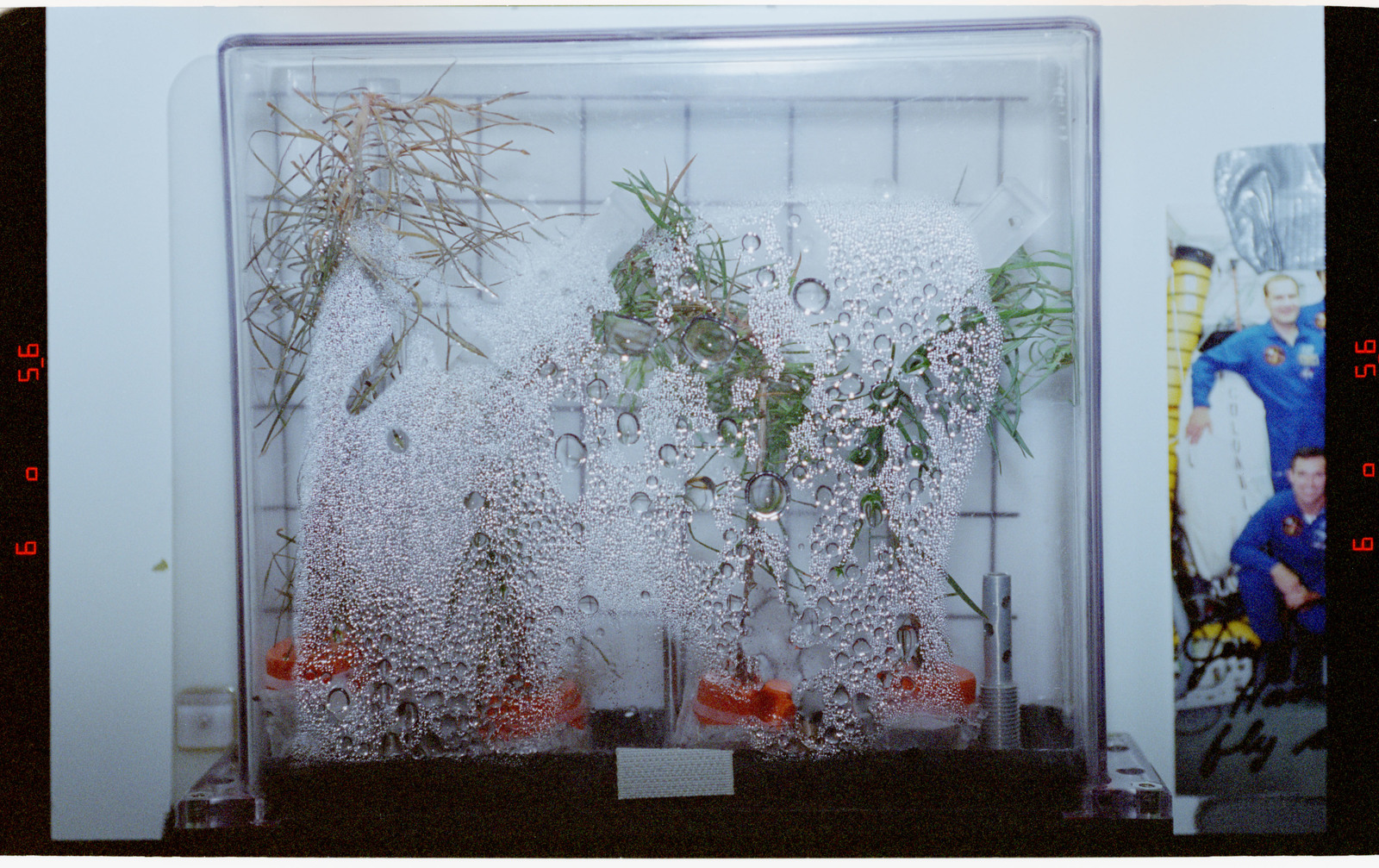 STS078-355-011 - STS-078 - PGF, Close-ups of tree seedlings on Life and Microgravity Sciences (LMS-1)