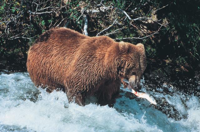 Alaska's Marine Highway - Brown Bear in McNeil River