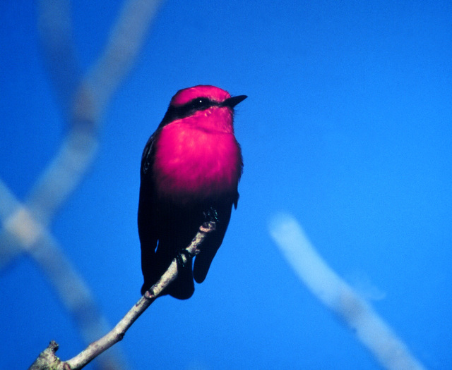Creole Nature Trail - Vermillion Flycatcher Against Blue Sky on the Creole Nature Trail
