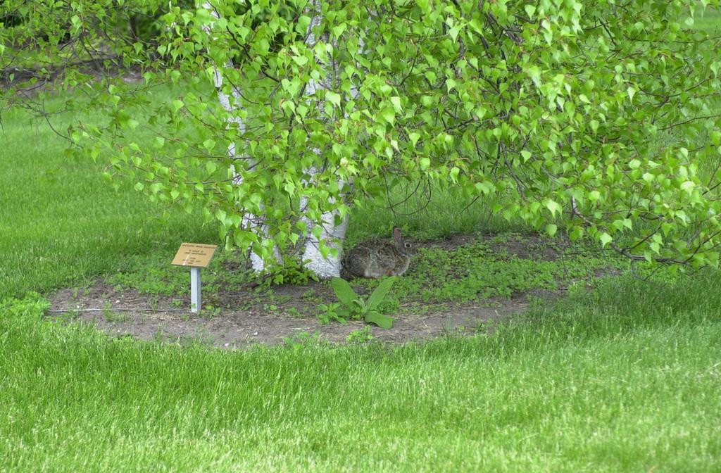 Minnesota River Valley Scenic Byway - Wild Rabbit and Birch at Gustavus Adolphus Arboretum