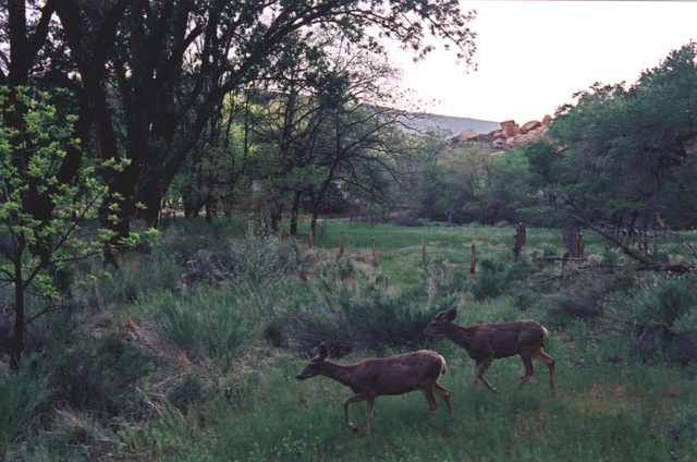 Scenic Byway 12 - Two Mule Deer at Dusk near the Highway