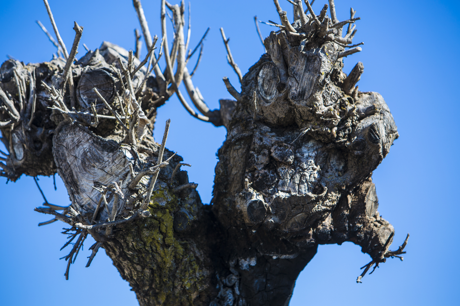 Napa, CA, August 30, 2014 ; A scorched tree stands in the aftermath of fire damage from broken gas lines at the Napa Valley Mobile Home Park in the City of Napa, California, which was struck by a 6.0 earthquake at 3:20 a.m. on August 24, 2014. At least 125 structures were tagged by inspectors as unsafe to enter in the City of Napa after the earthquake. FEMA supports state, local and tribal governments in their efforts to recover from the effects of natural disasters. Photo by Christopher Mardorf / FEMA