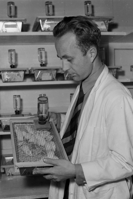 Joseph Gilbert Hamilton, the  first to work out the processes for the use of radioisotopes in nuclear medicine. Shown here working with lab mice, radiosodium experiment.  [Image flagged by Lawrence Berkeley National Lab for copyright warning.] [Photographer: Donald Cooksey]